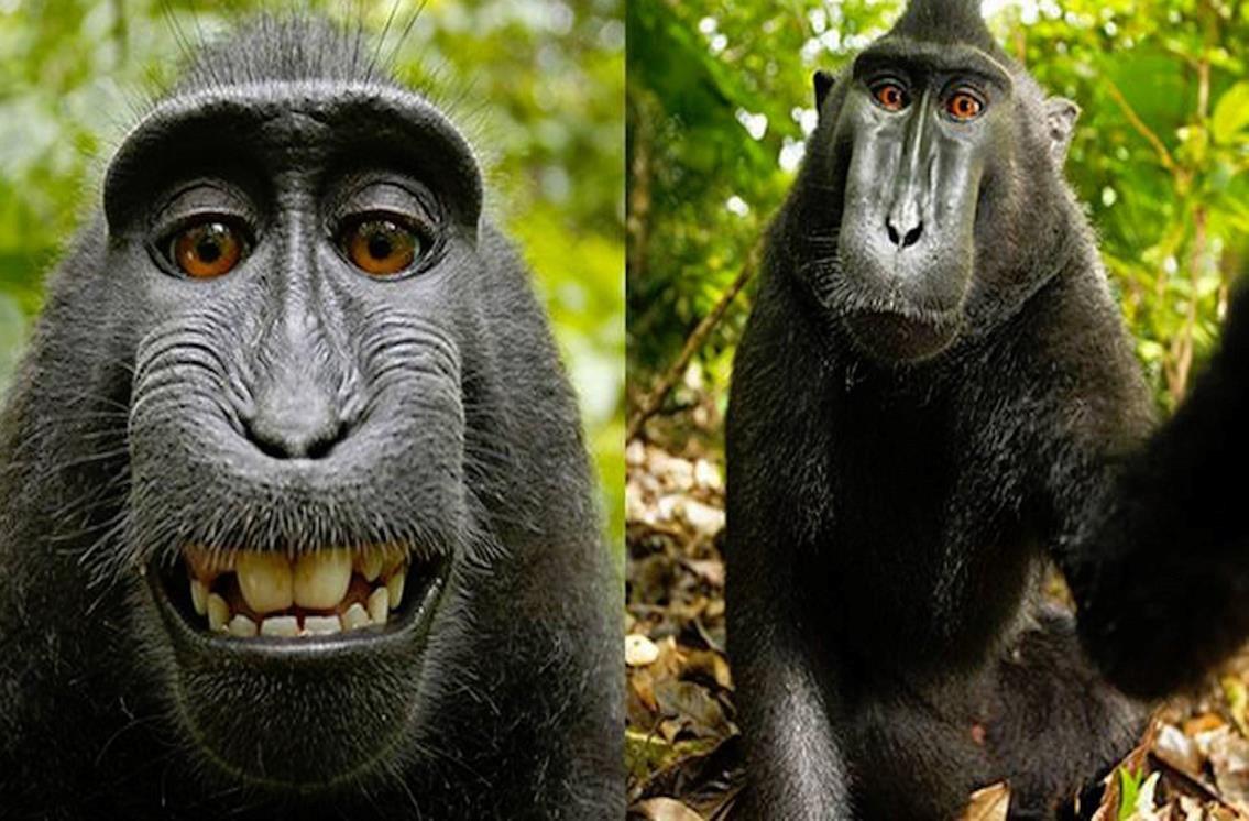 """معركة قانونية طويلة بين مصور بريطاني وقرد والسبب """"سيلفي ..."""