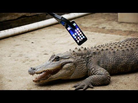 What Happens If an Alligator Bites an iPhone 7?